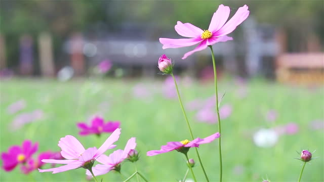 cosmos flower in field - uncultivated stock videos & royalty-free footage