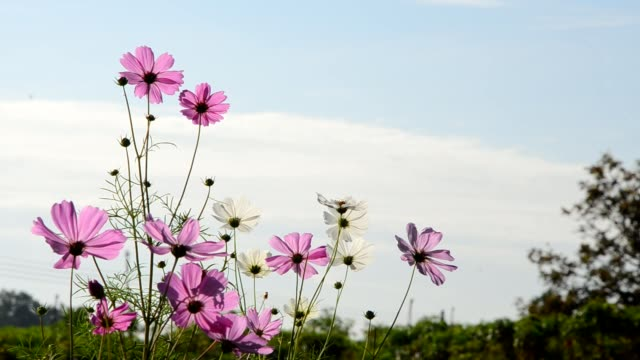 Cosmos flowers, bee and blue sky