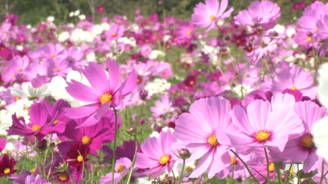 cu cosmos flowers blowing in wind - 福岡県点の映像素材/bロール