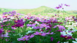 Cosmos Flowers Field in front of mountain spring time