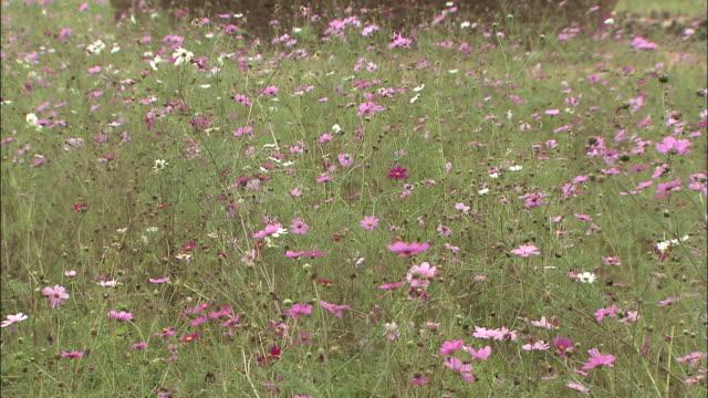 cosmos flowers in a meadow surround a haystack. - saitama city stock videos & royalty-free footage