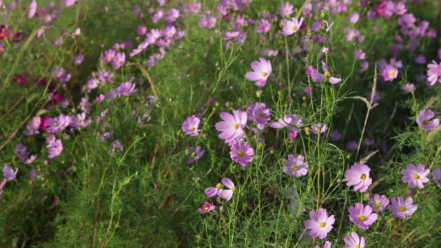 cosmos flowers moving in the wind - temperate flower stock videos and b-roll footage