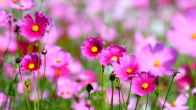 cosmos flowers pink - floral pattern stock videos & royalty-free footage