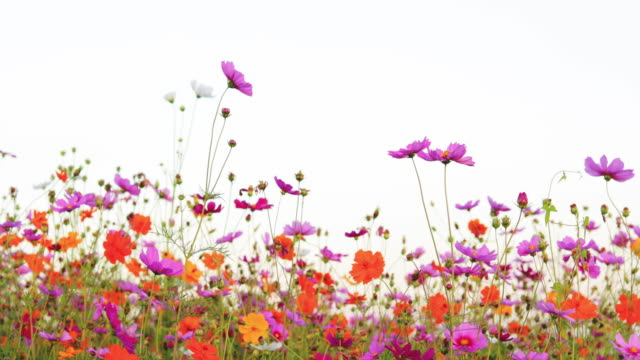 cosmos flowers swaying in gentle summer breeze - swaying stock videos & royalty-free footage
