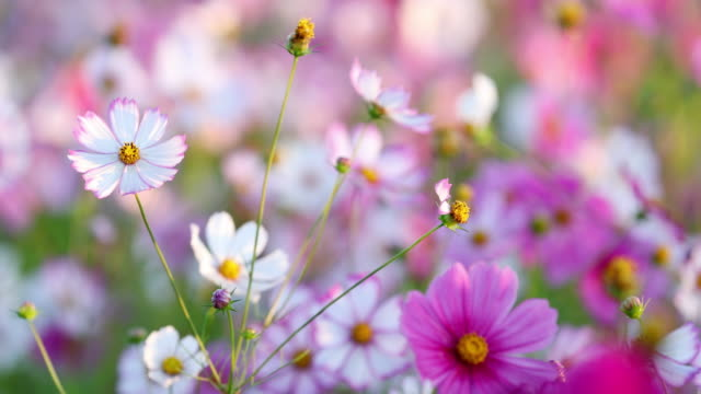cosmos flowers swaying in the wind / naju-si, jeollanam-do, south korea - schwanken stock-videos und b-roll-filmmaterial