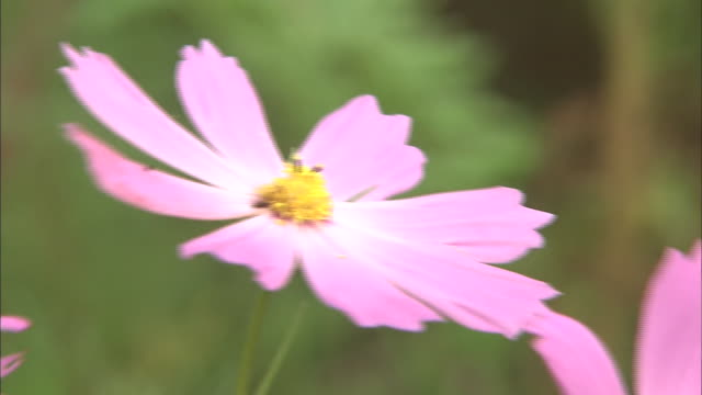 Cosmos Flowers Swaying In The Wind