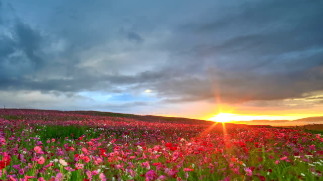 cosmos garden at sunrise - floral pattern stock videos & royalty-free footage