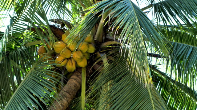 costa rica: coconut tree close up - puntarenas province stock videos & royalty-free footage
