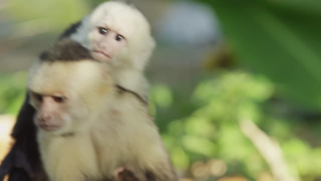 costa rica, manuel antonio state park, mother and young capuchin monkeys on tree - costa rica stock-videos und b-roll-filmmaterial