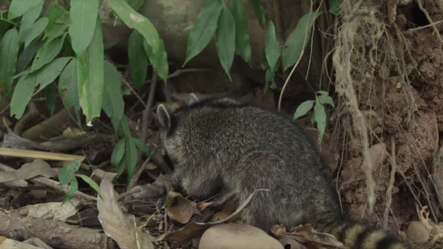 Costa Rica, Manuel Antonio State Park, Racoon eating