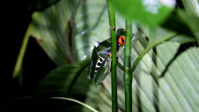 vídeos y material grabado en eventos de stock de costa rica, nature and parks - rana arborícola de los ojos rojos