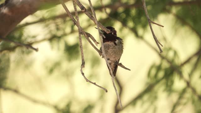 vídeos de stock e filmes b-roll de costa's hummingbird - calypte costae - colibri de costa