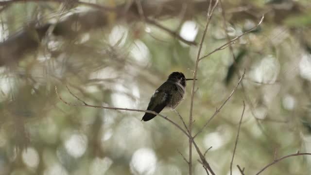 vídeos de stock e filmes b-roll de costa's hummingbird: tucson, arizona - colibri de costa