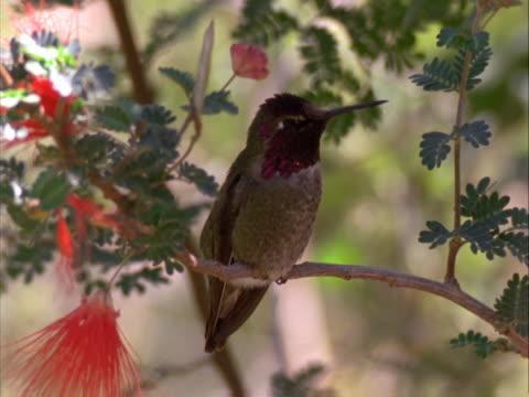 vídeos de stock e filmes b-roll de costa's hummingbird - colibri de costa