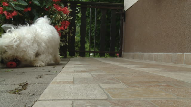 HD SLOW MOTION: Coton de Tulear Dog Catching Toy