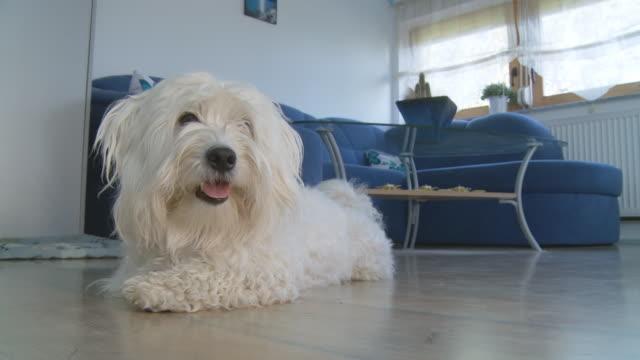 HD: Coton de Tulear Dog Lying On The Floor