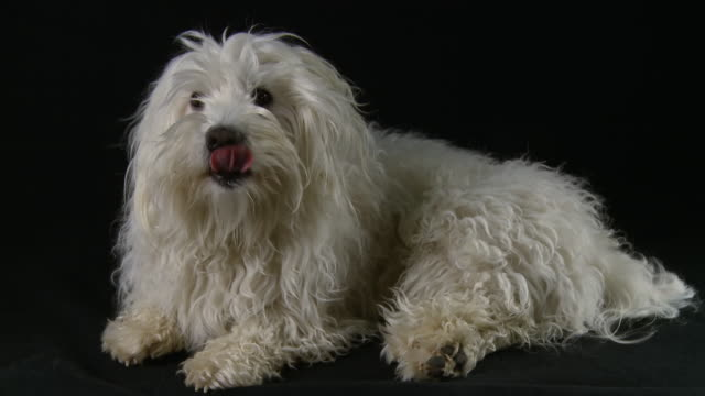 hd: coton de tulear licking his mouth - black background stock videos & royalty-free footage