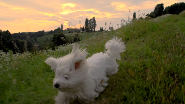 ws coton de tulear running in the grass - pure bred dog stock videos and b-roll footage