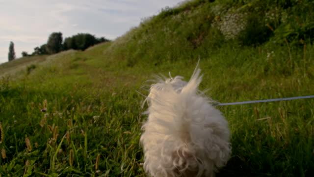 vídeos de stock e filmes b-roll de slo mo coton de tulear correr na relva - trela de animal de estimação