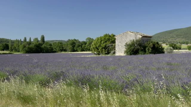 Cottage in lavender field