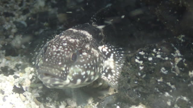 vidéos et rushes de cottidae fish isla la graciosa, réserve marine espagnole - océan atlantique