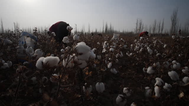 cotton being picked in field in xinjiang, china - 新疆ウイグル自治区点の映像素材/bロール