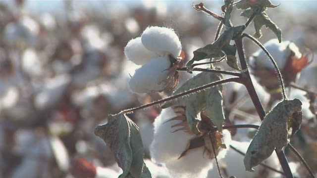 cu cotton bulbs on plant / van horn, texas, united states - cotton plant stock videos and b-roll footage