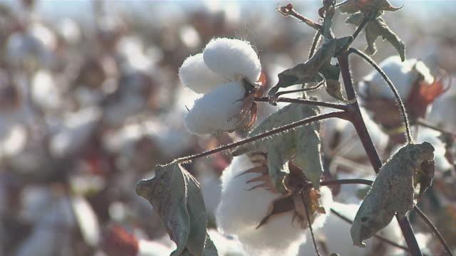 vídeos y material grabado en eventos de stock de cu cotton bulbs on plant / van horn, texas, united states - cotton