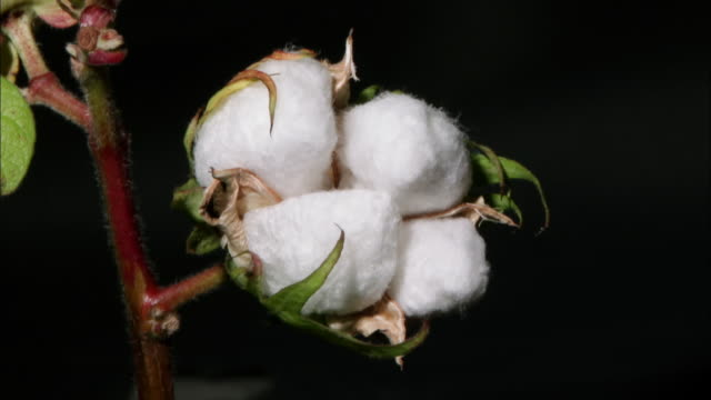 a cotton coming into bloom - cotton plant stock videos and b-roll footage