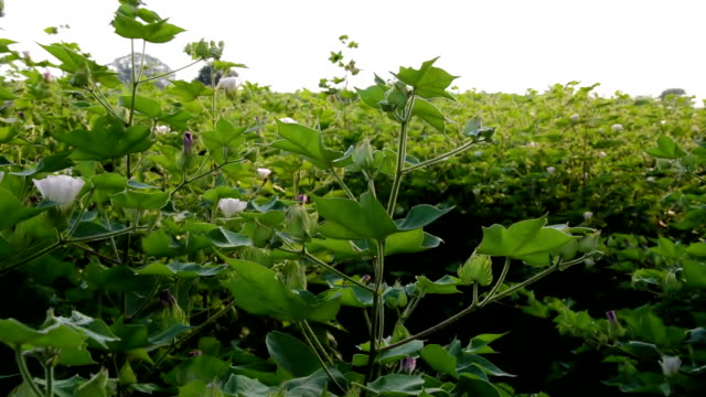 cotton crop plant swaying through wind outdoor in nature - cotton ball stock videos & royalty-free footage