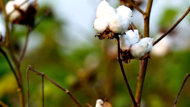 cotton crop - cotton ball stock videos & royalty-free footage