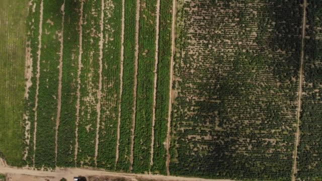 cotton farms near faehbad haryana india on monday september 10 2018 - haryana stock videos & royalty-free footage