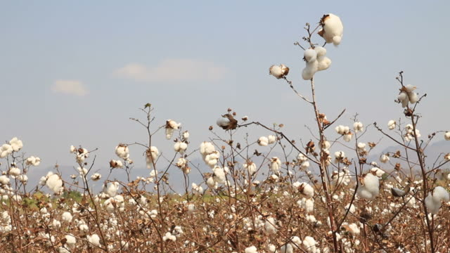 cotton farms - cotton ball stock videos & royalty-free footage