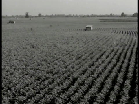 cotton field. african-american black farmer w/ family in field hoeing rows in crops wooden houses bg. young black male hoeing between row of growing... - farm worker stock videos & royalty-free footage