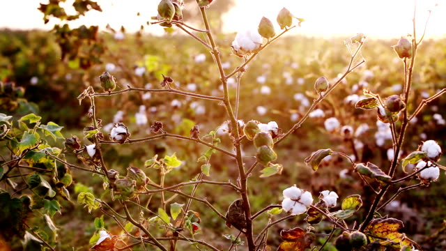 cotton field during sunrise hdr image - cotton ball stock videos & royalty-free footage