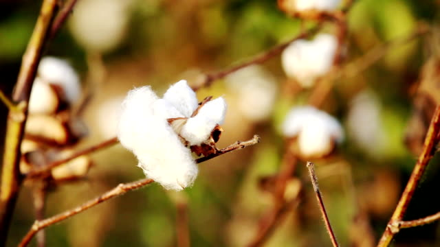 cotton field during sunset hdr image close up - cotton ball stock videos & royalty-free footage