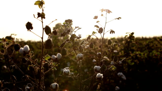 cotton field during sunset hdr image - cotton ball stock videos & royalty-free footage