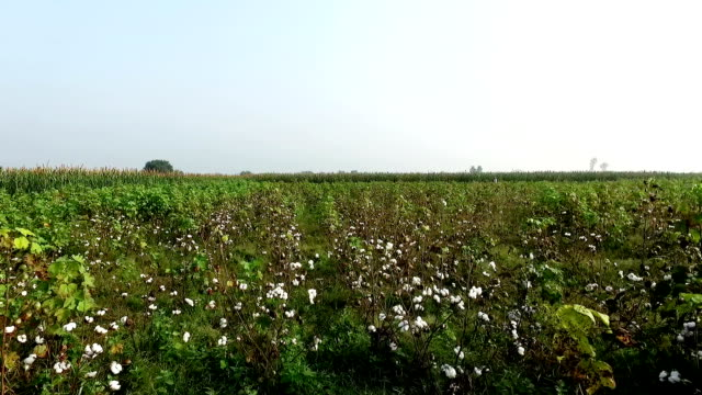cotton field elevated view - cotton ball stock videos & royalty-free footage