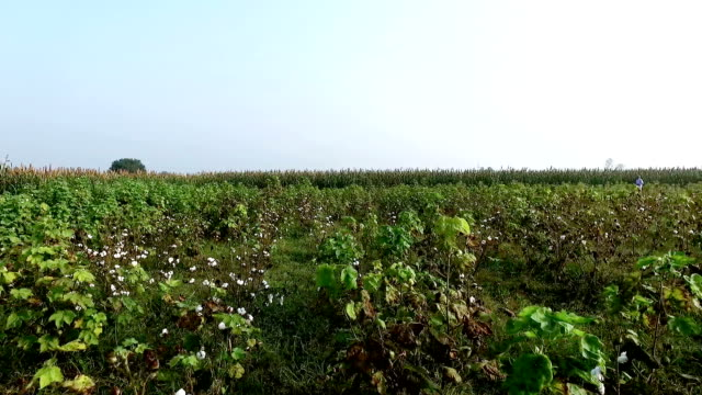 Cotton field elevated view