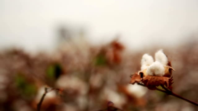 cotton field near power station - cotton plant stock videos and b-roll footage