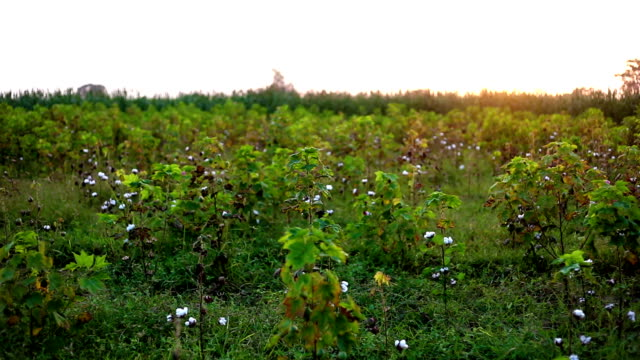 cotton field panning during springtime. - cotton ball stock videos & royalty-free footage