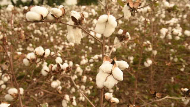 cotton field ready for harvest - raw food stock videos & royalty-free footage
