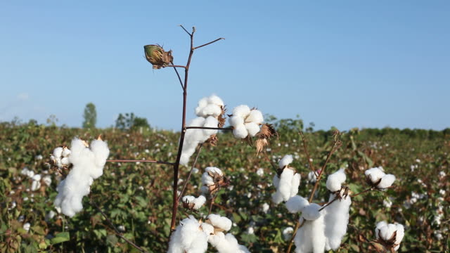 cotton field ready for harvesting - cotton stock videos and b-roll footage