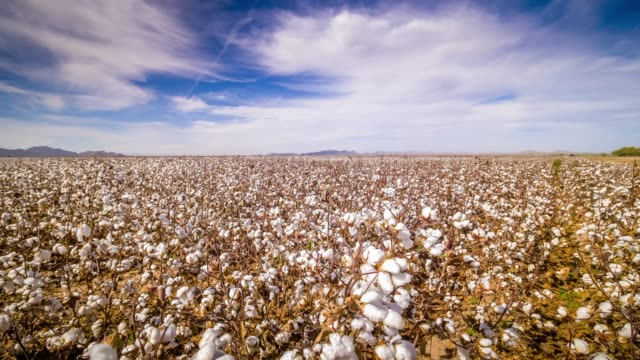 stockvideo's en b-roll-footage met cotton field ready to be harvested in eloy, arizona - katoen