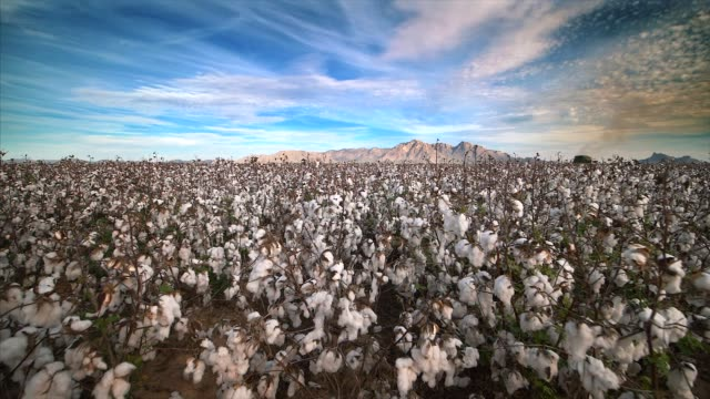 cotton field ready to be harvested in eloy, arizona - cotton stock videos & royalty-free footage