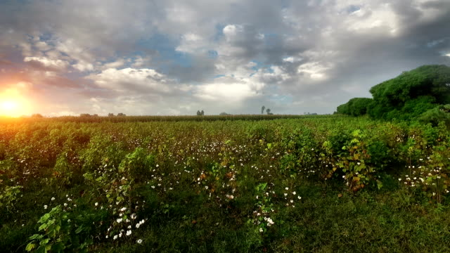 Cotton field under the beautiful cloudscape