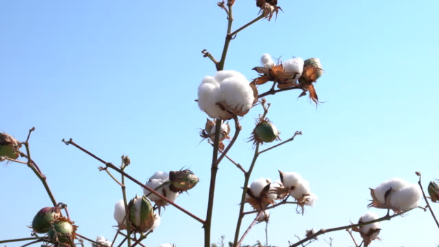 cotton field - cotton stock videos & royalty-free footage
