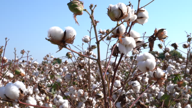 cotton field - cotton ball stock videos & royalty-free footage