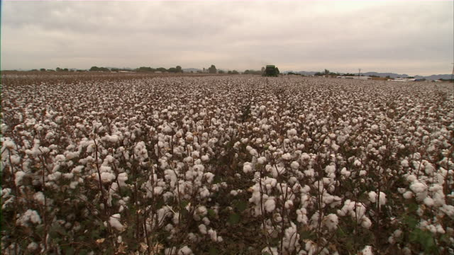 ws cotton field - cotton plant stock videos and b-roll footage