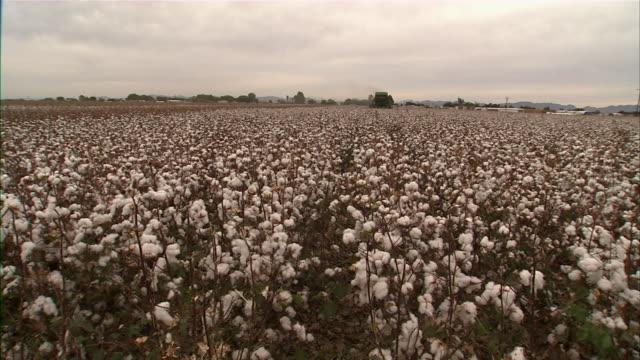 vídeos y material grabado en eventos de stock de ws cotton field - cotton